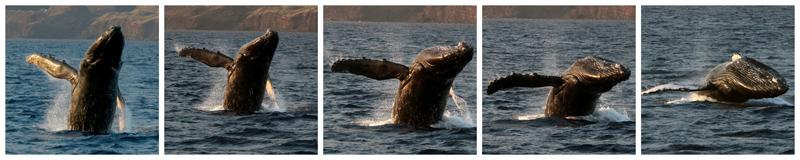 maui whale breaching