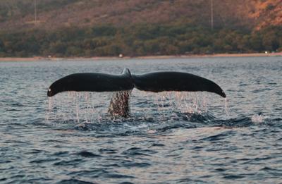 maui whale tail