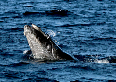maui whale watching 2016